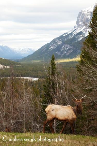 Banff Elk