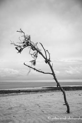 Beach Pine
