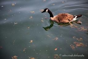 Canadian Goose
