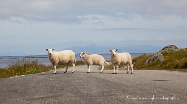 Crossing Sheep