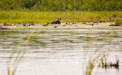 Marsh Moose