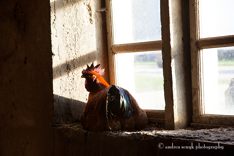 Roosters Window