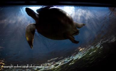 Vancouver Turtle