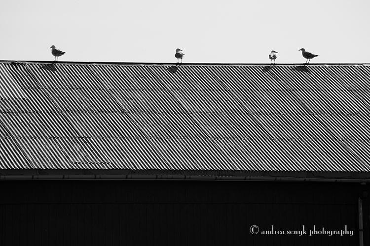Roof Gulls