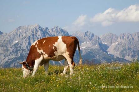 Wilder Kasier Cow