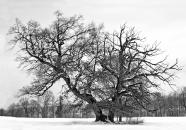 Benreid Baum BW