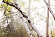 Birch Web
