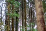 Dreamy Pines