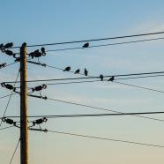 Pigeon Line
