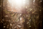 Pine Boquet