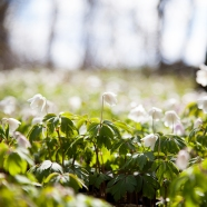 Spring Bells