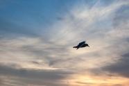 Sunset Gull