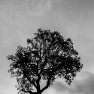 Tall Maple BW